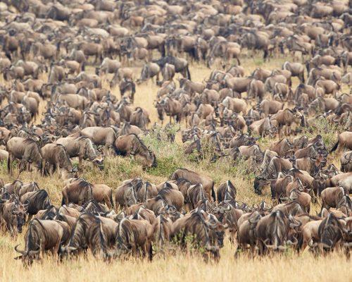 Maasai mara migration